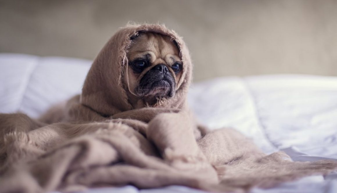 Worried Pug Featured Image