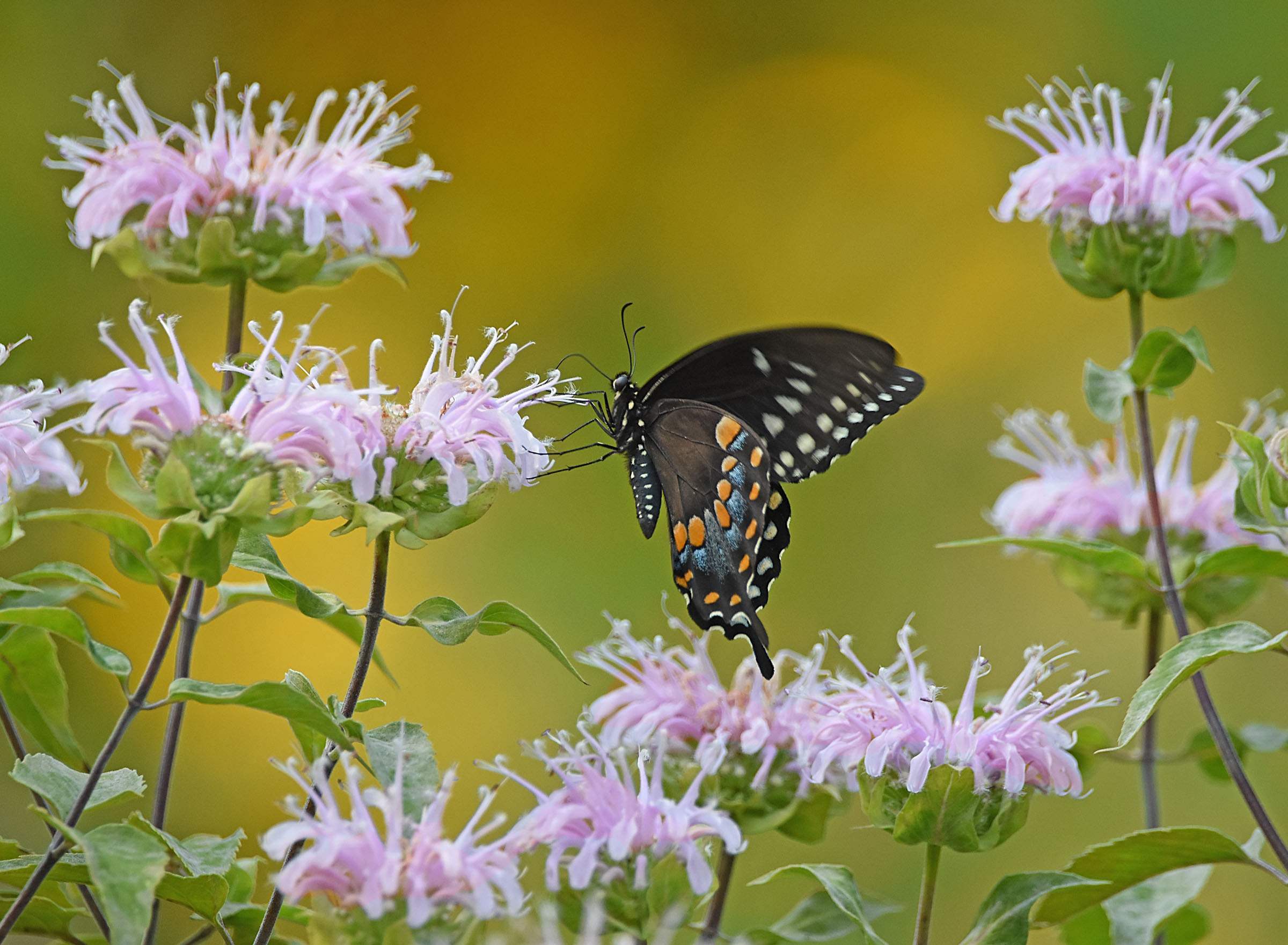 butterfly-bergamont